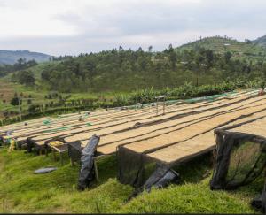 Café vert en train de sécher sur des lits africains